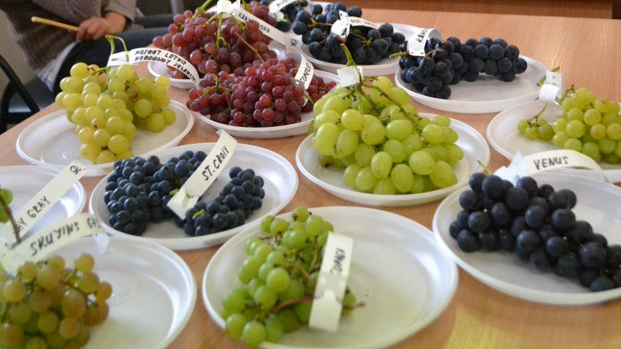 Vynuogių paroda Vilniaus Botanikos sode