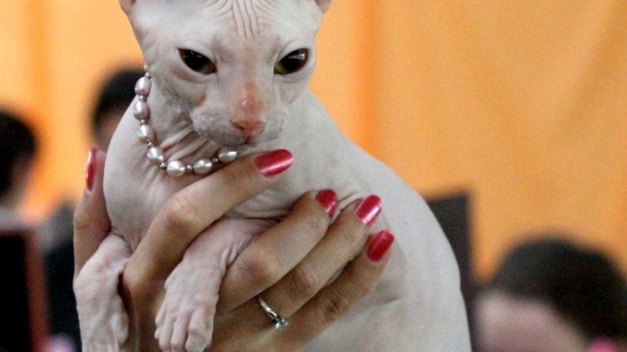 Tarptautinė kačių paroda