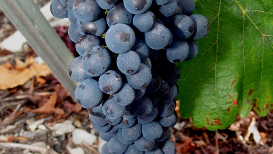 Syrah / Shiraz vynų degustacija
