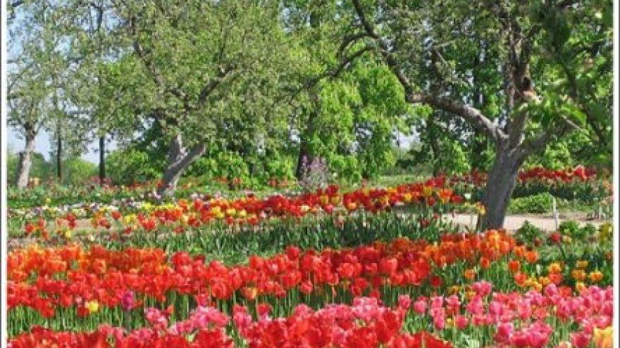 11-oji Tulpių žydėjimo šventė Burbiškyje